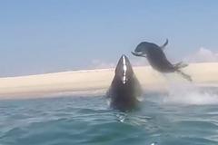 Bị cá mập truy sát, hải cẩu bất ngờ ra đòn từ trên không