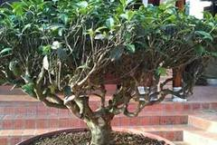 Chơi lạ Hà thành: Trồng vườn chè cổ thụ trên sân thượng