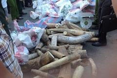 Bắt vụ buôn lậu ngà voi lớn nhất từ trước tới nay