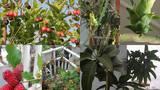 Mãn nhãn vườn quả trĩu trịt trên sân thượng tầng 6 giữa Thủ đô