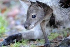 Ngạc nhiên chuyện Kangaroo đực có thể sinh con