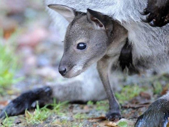Kangaroo, chuột túi, con đực, sinh con