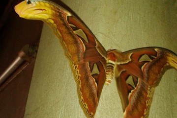Kỳ lạ bướm có cánh hình đầu rắn