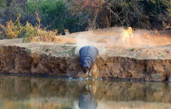 Hà mã 'cười nhạo' sư tử rượt đuổi hụt