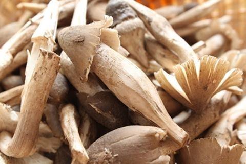 Nấm mối ủ chất kích thích: Đặc sản đầu độc người ăn