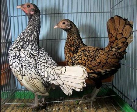 Con gà quý tộc ngàn USD của tay chơi Hà Thành