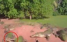 Kinh hoàng cảnh cá sấu đói ngoạm đứt chân đồng loại