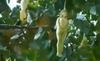 Video: Kỳ lạ cây có quả hình... cô gái khỏa thân
