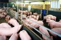 Quá lãi, DN lớn cũng dùng chất cấm tạo nạc thịt lợn