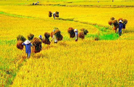 Gạo Việt Nam đã thua Thái Lan và Campuchia
