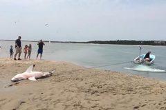 Giải cứu cá mập trắng mắc cạn trên bờ biển