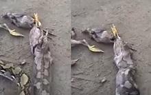 Trăn đói mắc nghẹn vì cố nuốt chửng 5 con gà