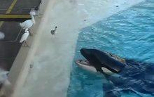 Cá voi tinh quái dùng mẹo bẫy chim