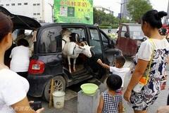 Chở dê ra phố để bán sữa tươi nguyên chất