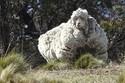 Kỷ lục thế giới chú cừu có bộ lông nặng hơn 40kg