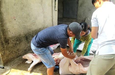 Thủ phủ giết mổ lợn chết, lợn bệnh