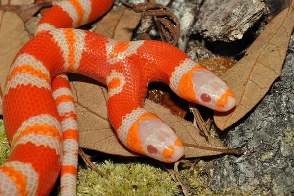 Con rắn hai đầu có giá hơn 1 tỷ đồng