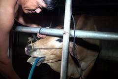 Cảnh sát mật phục bắt quả tang lò mổ bơm nước vào bò