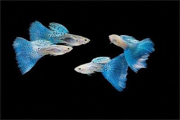 Điều đó khiến cho loài cá này vô tình trở thành loài