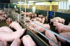 Siết chặt quản lý sử dụng chất cấm tạo nạc trong chăn nuôi