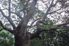 Rừng lim báu vật trăm tuổi ở xứ Nghệ