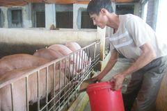 Lợn 'hoàng gia': Nằm điều hòa, ăn thuốc bắc, nghe nhạc Đàm
