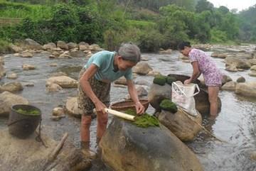 Ăn rêu đá: Đặc sản trường thọ ở Phú Thọ