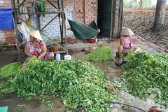 Xóm nghèo chuyên nghề nhặt rau muống thuê ở Sài Gòn