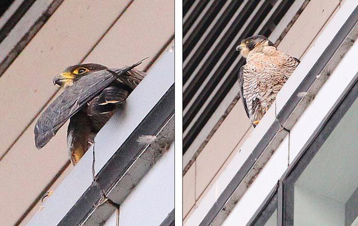 Ngoạn mục cảnh chim ưng hợp sức vồ mồi giữa không trung