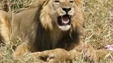 Sư tử đực ăn thịt con của bạn tình mới quen