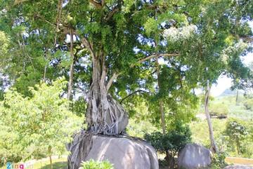 Báu vật làng: Siêu cây trăm tuổi tiền tỷ không bán