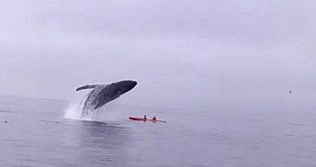 Thót tim cảnh người chèo thuyền suýt bị cá voi đè chết