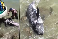 Thảm cảnh cá heo tuyệt vọng quăng mình vào đá