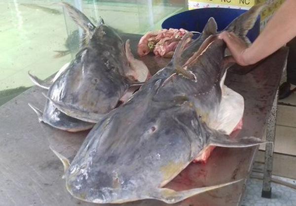 Nhà hàng Hà Nội xẻ thịt cá Chiên khủng 30kg, dài 1,4m
