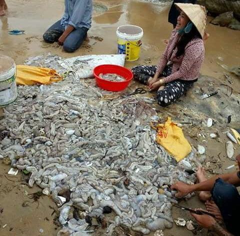 Thần dược hải sâm dồn đống trên bờ biển Phú Quốc