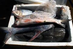 Dân nhậu Việt: Cá Anh vũ Campuchia thối, tim lợn 30 ngàn