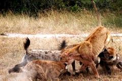 Xem đàn linh cẩu đói tử chiến với 3 con sư tử