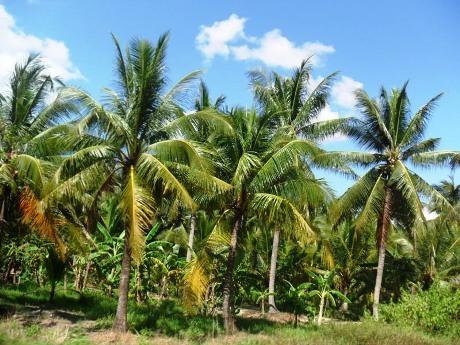 Đề xuất trồng dừa trên đường phố Sài Gòn