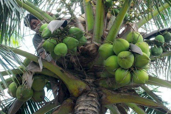 Đặc sản dừa Xiêm 2 ngàn, ăn quả dại 2 triệu