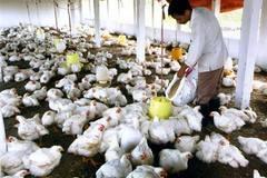 Sẽ ngừng nuôi gà công nghiệp ở VN?