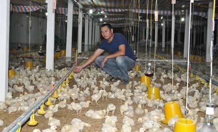 chăn nuôi, gà công nghiệp, thịt gà, gà Mỹ, đùi gà, nông dân, bán phá giá, chăn-nuôi, gà-công-nghiệp, thịt-gà, gà-Mỹ, đùi-gà, nông-dân, bán-phá giá,