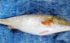 Ngư dân bắt được cá lạ nghi là cá Sủ Vàng