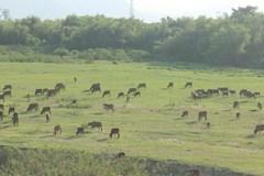 Chuyện lạ Quảng Nam: Cả làng đóng bảo hiểm cho bò