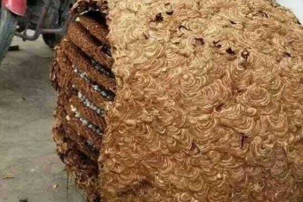 Phát hiện tổ ong khổng lồ nặng 40kg