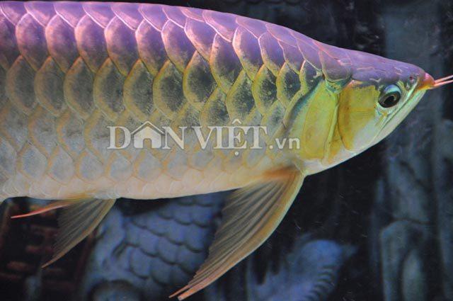 Con cá huyết long 200 triệu ở Hà Nội