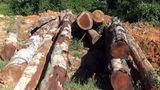 Xẻ rừng biên giới thu hàng ngàn khối gỗ quý