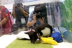 TQ tạo lợn biến đổi gen mini, giá 36 triệu/con