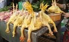 Cho gà ăn độc chất Vàng-ô ung thư tạo màu thịt vàng đẹp