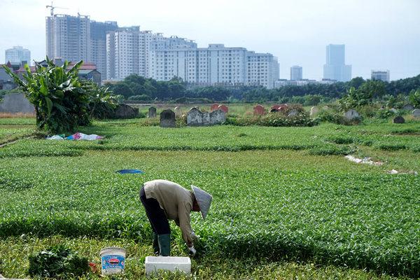 Rợn cảnh rau muống trồng xen lẫn mồ mả ở Thủ đô
