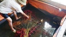 Vỗ béo lươn bằng thuốc tránh thai